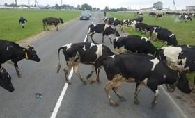 Астраханцев попросили убрать домашний скот от дороги из-за кортежа Медведева